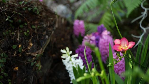 Piccolo fiore viola del giacinto di fresia nella foresta, california usa. atmosfera mattutina primaverile, delicata piccola pianta verde rosa viola. fata primaverile botanica pura freschezza. ecosistema bosco selvaggio