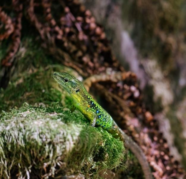 Piccola lucertola verde seduta su una pietra con muschio verde