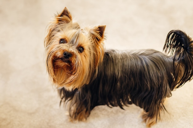 Posa minuscola dell'yorkshire terrier