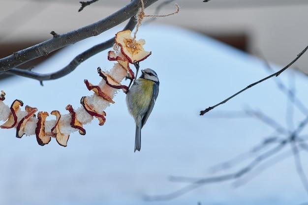 Una cincia mangia le mele con lo strutto appeso a un albero nella giornata invernale