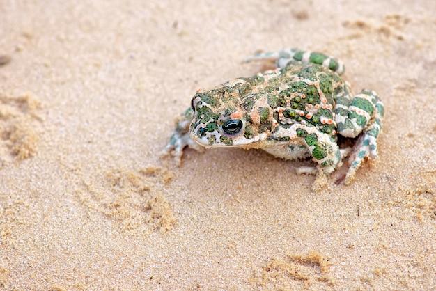 Toad si siede su una sabbia e aspetta