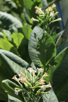 Grandi colture di foglie di tabacco che crescono nel campo delle piantagioni di tabacco molti delicati fiori rosa di nicotina
