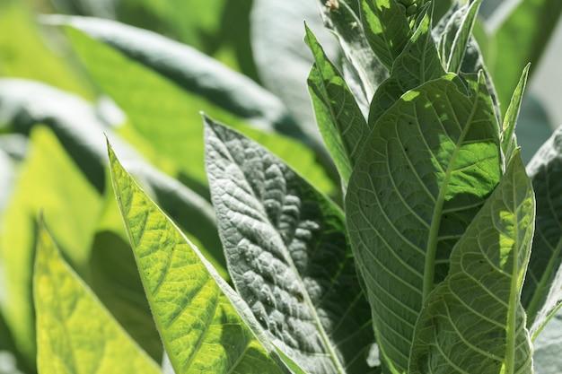 Grandi colture a foglia di tabacco che crescono nel campo delle piantagioni di tabacco