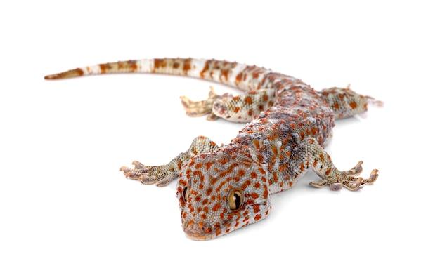 Tokay gecko, gekko gecko, su sfondo bianco