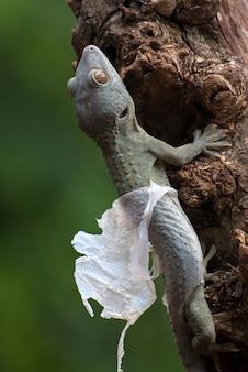 Geco tokay muta su un albero