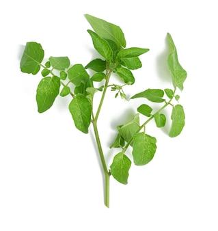 Ramo di pomodoro con foglie verdi e fiori non soffiati