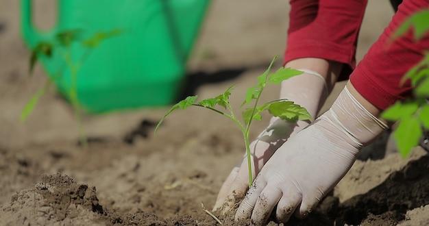 Pianta di pomodoro che pianta le mani di verdure di un agricoltore mentre pianta una pianta in un orto agricoltura all'inizio della stagione della semina