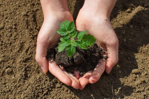 Piantina di pomodoro nelle mani del giovane agricoltore femminile. piantine di pomodoro in crescita in una serra