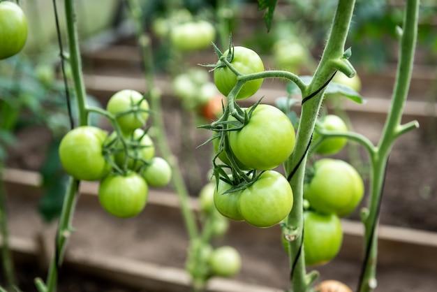 Pomodori che crescono sul ramo in serra.