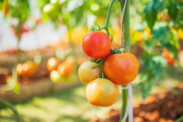 Pianta di pomodori in giardino