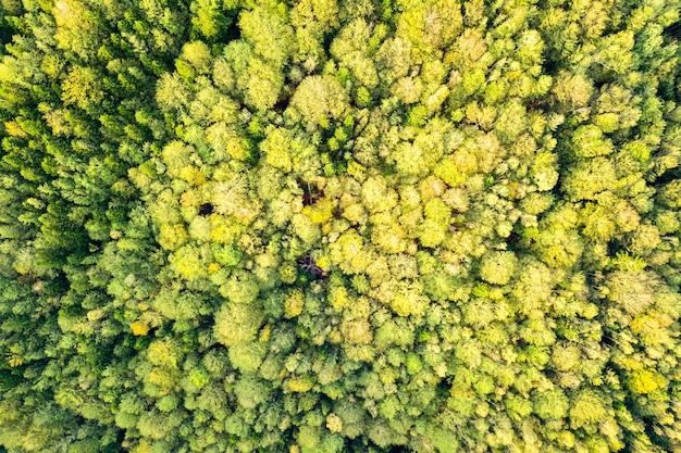 Vista aerea dall'alto in basso di abete rosso verde brillante e alberi autunnali gialli nella foresta di caduta.