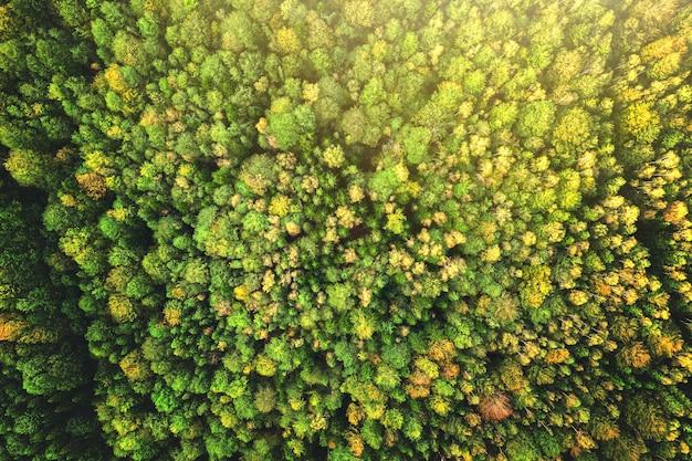Vista aerea dall'alto in basso di abete rosso verde brillante e alberi autunnali gialli nella foresta di caduta