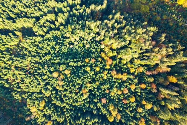 Vista aerea dall'alto verso il basso di abete rosso verde brillante e alberi autunnali gialli nella foresta autunnale.