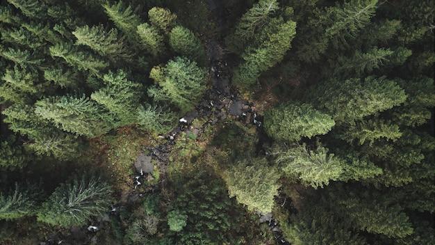 Primo piano aereo del fiume di montagna dall'alto verso il basso della foresta di pini verde nessuno paesaggio naturale all'abete rosso autunnale