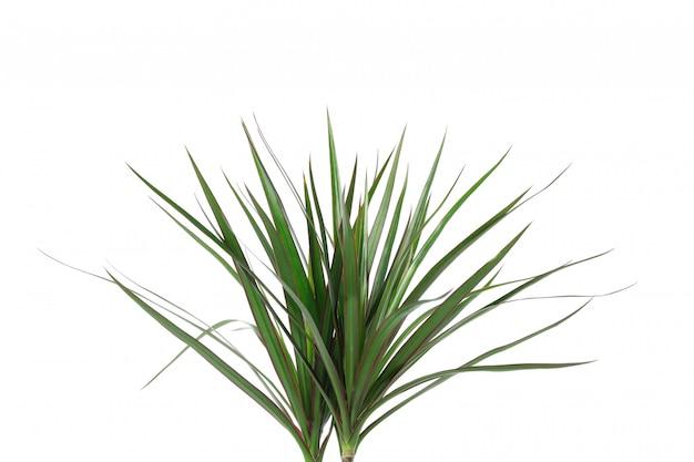 Cima della pianta verde isolata su bianco
