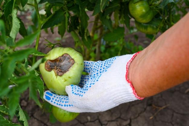 Marciume superiore dei pomodori. i pomodori sbocciano e marciscono sul fondo. l'agricoltore controlla i pomodori nell'orto. mani del contadino. agricoltura, giardinaggio, coltivazione di ortaggi.