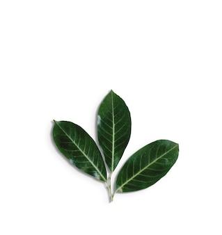 Top up vista foglie verdi isolate su bianco background.fit per il tuo elemento di design.