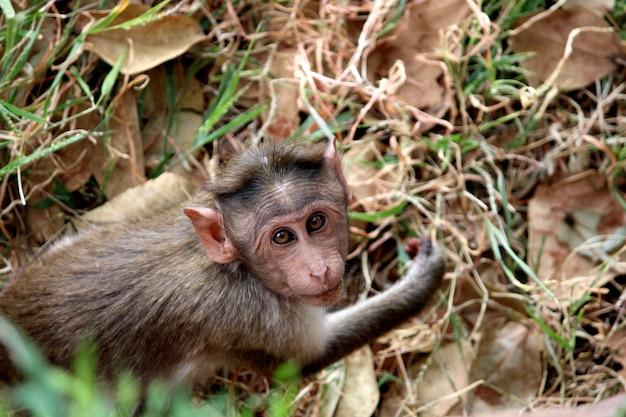 Vista dall'alto della testa di scimmia macaco del cofano.