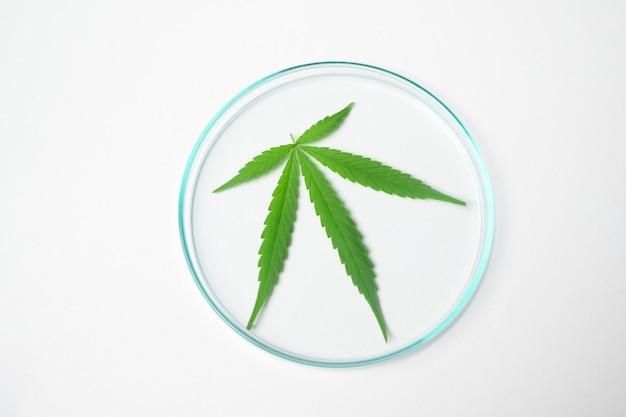 Vista dall'alto di una foglia di cannabis sativa in laboratorio sperimentale, pianta di canapa per olio cbd farmaceutico a base di erbe in un laboratorio