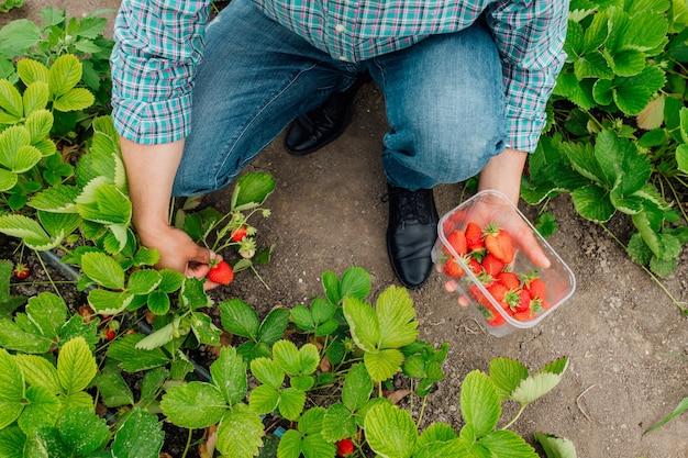Vista dall'alto primo piano dell'agricoltore maschio e raccoglie fragole rosse mature in serra il raccolto di bacche agricoltore tiene una scatola di bacche di fragole agroalimentare e persone