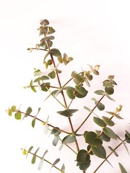 Vista dall'alto della cornice di foglie verdi di eucalipto gunnii isolata su sfondo bianco