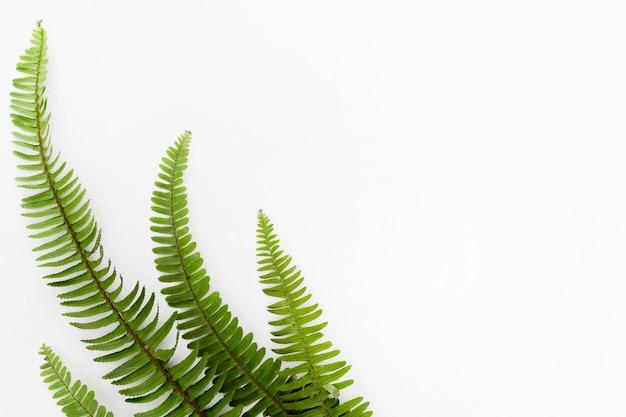 Vista dall'alto di foglie di felce con copia spazio
