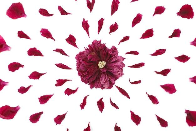 Vista dall'alto di un motivo floreale di petali di peonia. composizione di fiori su superficie bianca realizzata a mano. primo piano fotografato.