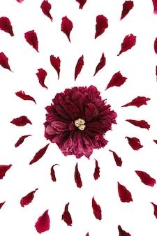 Vista dall'alto di un motivo floreale di petali di peonia. composizione di fiori su una superficie bianca realizzata a mano