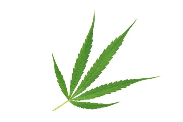 Vista dall'alto della foglia di cannabis fresca su sfondo bianco.