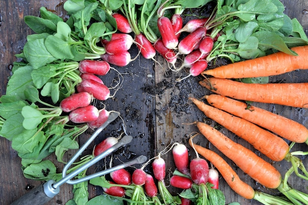 Vista dall'alto su carote e ravanelli sporchi organici appena raccolti in giardino e messi su una tavola con un piccolo rastrello