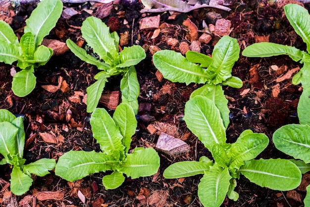 Vista dall'alto di lattuga verde biologica