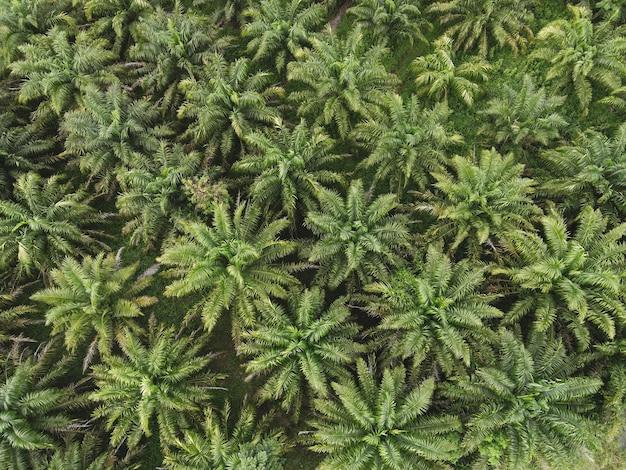 Vista dall'alto foglie di palma dall'alto delle colture in verde, pianta di albero tropicale con vista a volo d'uccello, vista aerea dello sfondo di fattoria agricola natura campi verdi della palma