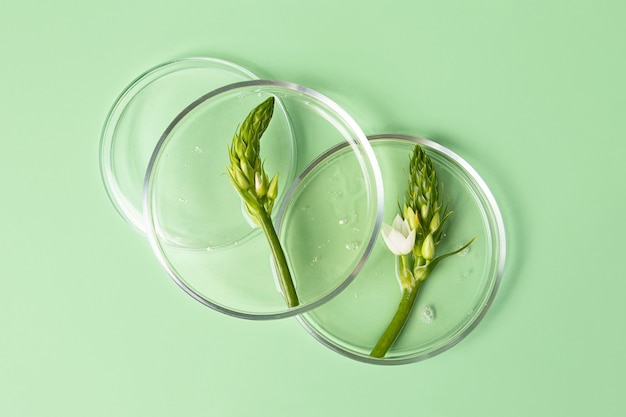 Vista dall'alto delle capsule di petri con gel trasparente all'interno. fogliame verde fresco in esso. concetto di ricerca e preparazione di cosmetici. sfondo di menta.
