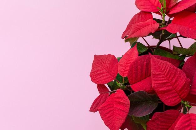 Vista dall'alto sulla stella di natale su sfondo rosa, conosciuta anche come christmas flowe, decorazione floreale natalizia, fogliame rosso e verde
