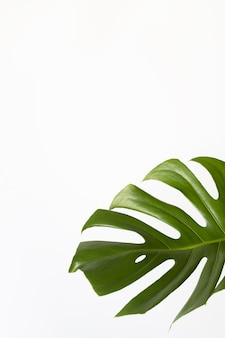 Vista dall'alto della vera prelibatezza di monstera. primo piano della foglia fresca verde su sfondo bianco, copia dello spazio