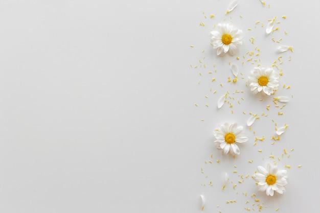 Vista dall'alto di fiori bianchi margherita; petali e polline giallo su sfondo bianco