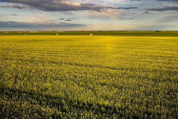 Vista dall'alto di un campo di colza giallo dopo la pioggia in bielorussia, un'area agricola. il concetto di sviluppo del settore agricolo.