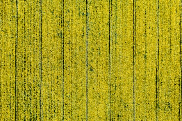 Vista dall'alto di un campo di colza giallo in bielorussia, una zona agricola