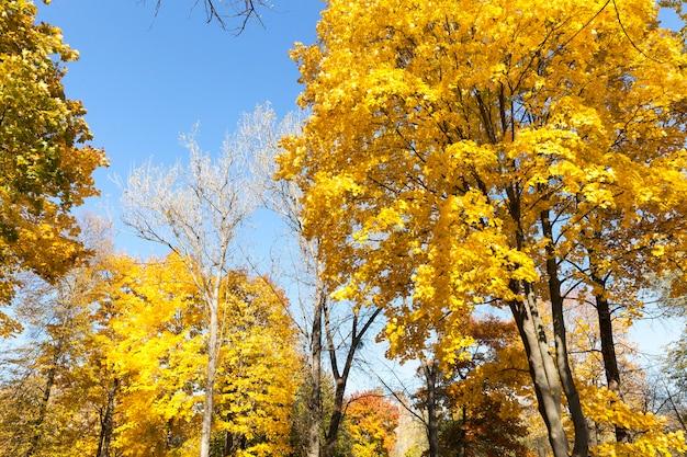 Le cime degli alberi decidui spogli nella stagione autunnale, ma alcuni alberi pendono dal bel fogliame ingiallito
