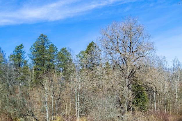 Cime degli alberi in una foresta mista. parco dendrologico in lettonia. cielo azzurro con nuvole.