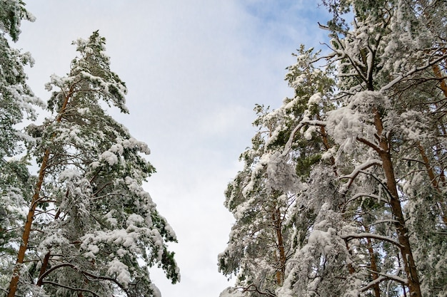 Le cime degli alberi nella neve in una giornata di sole ai lati e il cielo al centro. paesaggio invernale in lettonia.