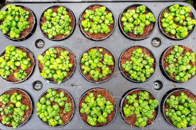Vista dall'alto della pianta delle bolle da bagno di pilea nummulariifolia nel mercato delle piante ornamentali