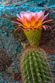Torch cactus in bloom e chrysocollacoated boulder