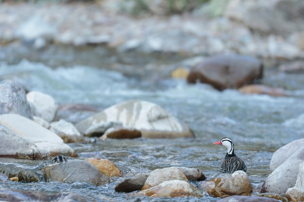 Anatra torrente (merganetta armata) bellissimo esemplare maschio di anatra torrente