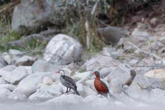 Anatra torrente (merganetta armata) bellissimo esemplare di coppia con i loro piccoli nel loro ambiente naturale