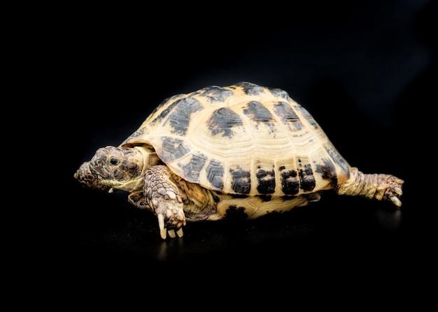 Una tartaruga isolata sul nero