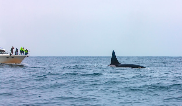 Il turista che osserva le orche che si tuffano in kamchatka