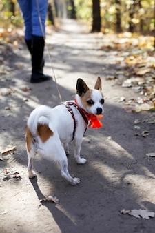 Il cucciolo di cane di toy terrier resiste a camminare al guinzaglio, vuole cacca e pipì all'aperto