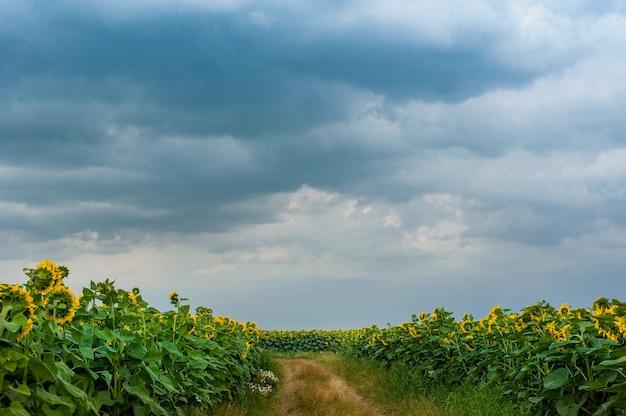 Sentiero in un campo di girasoli e il cielo prima della tempesta