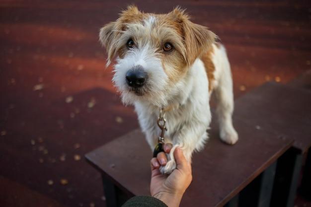 Lezione di formazione. una ragazza tiene in mano una zampa di un cucciolo di jack russell terrier
